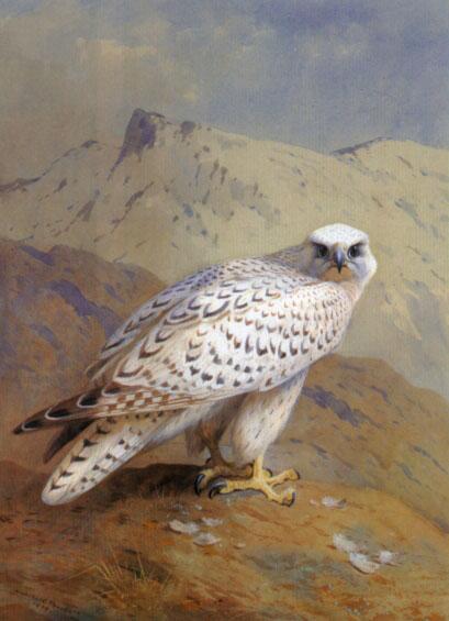 A Greenland, or Gyr Falcon - Archibald Thorburn