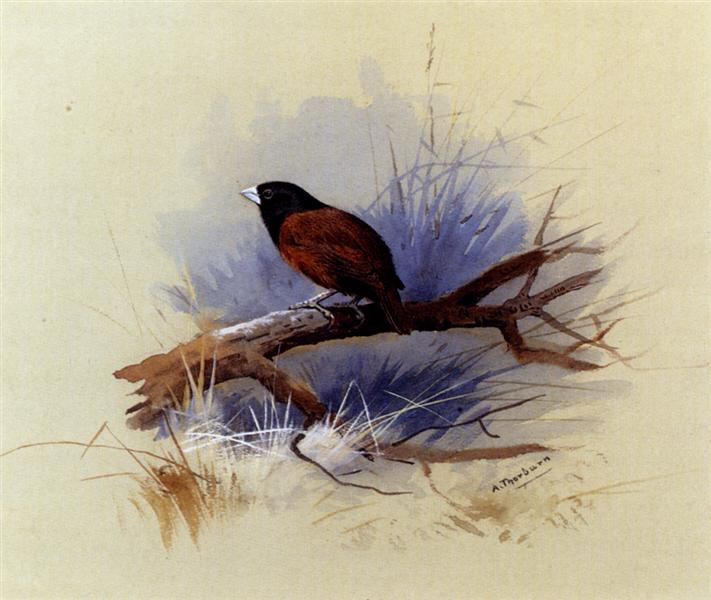 A Nepalese black headed nun in the branch of a tree - Archibald Thorburn