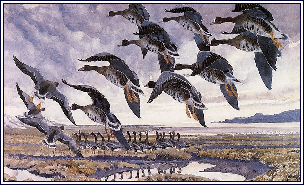 Alighting Whitefronts - Charles Tunnicliffe - WikiArt.org