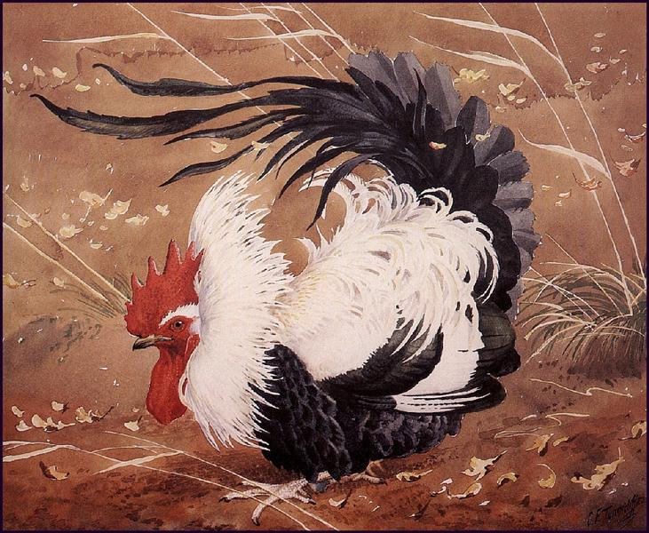 Cockerel In The Wind - Charles Tunnicliffe
