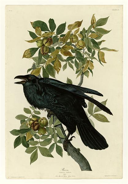 Plate 101 Raven - John James Audubon