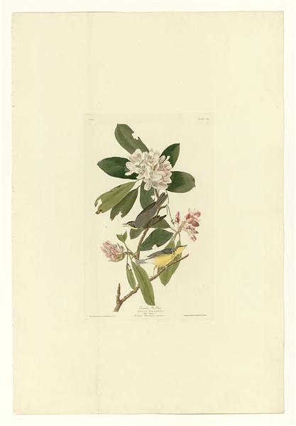 Plate 103 Canada Warbler - John James Audubon