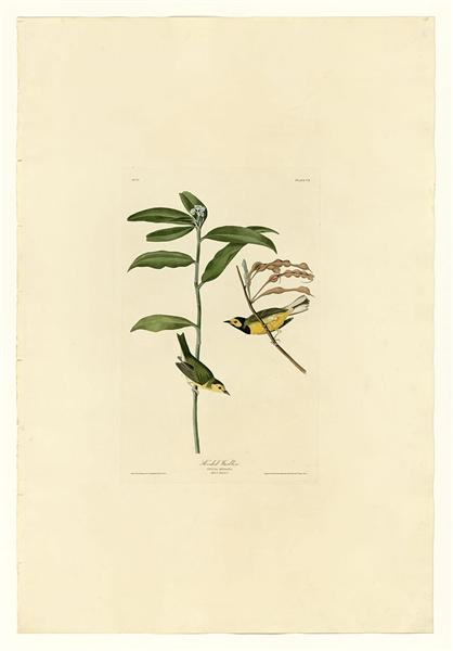 Plate 110 Hooded Warbler - John James Audubon