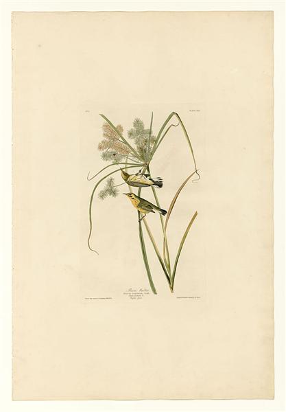 Plate 14. Prairie Warbler - John James Audubon