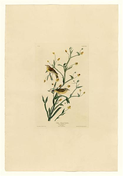 Plate 145 Yellow Red-poll Warbler - John James Audubon