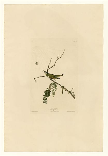 Plate 150 Red-eyed Vireo - John James Audubon