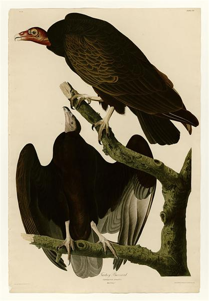 Plate 151 Turkey Buzzard - John James Audubon