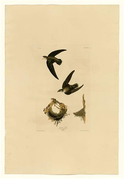 Plate 158 American Swift - John James Audubon