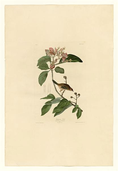 Plate 165 Bachmans Finch - John James Audubon