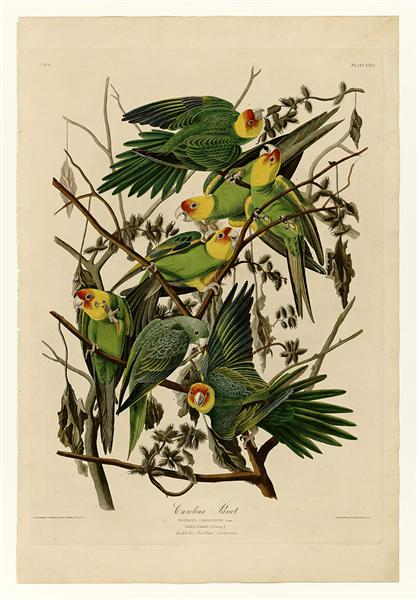 Plate 26. Carolina Parrot - John James Audubon