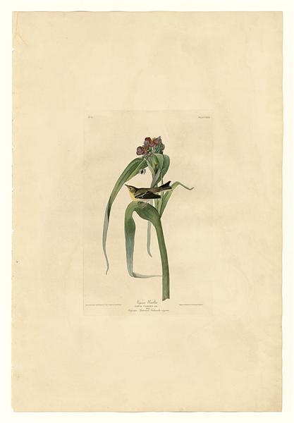 Plate 30. Vigor's Warbler - John James Audubon