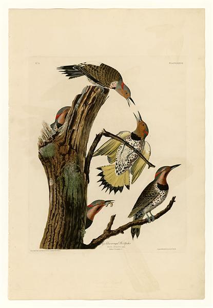 Plate 37. Golden-winged Woodpecker - John James Audubon