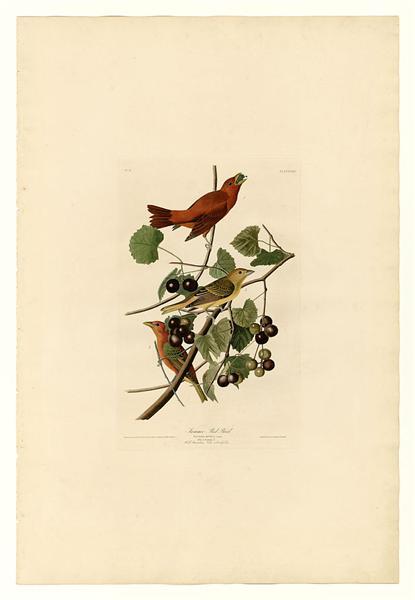 Plate 44. Summer Red Bird - John James Audubon
