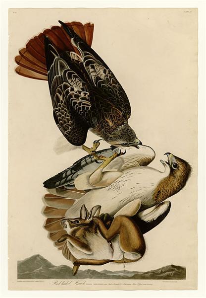 Plate 51. Red-tailed Hawk - John James Audubon