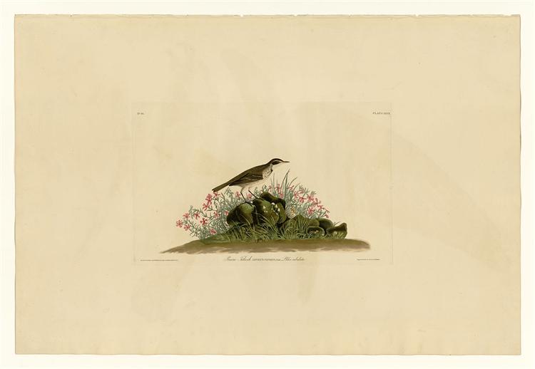 Plate 80 Prairie Titlark - John James Audubon
