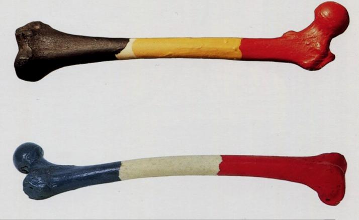 Fémur d'homme belge & fémur de la femme francaise, 1965