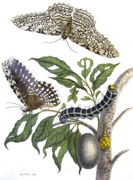 from Metamorphosis insectorum Surinamensium, Plate XX. (Thysania agrippina), 1705 - Maria Sibylla Merian
