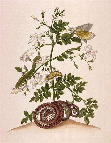 Metamorphosis insectorum Surinamensium (Metamorphosis of the Insects of Suriname), figure 46, 1705 - Maria Sibylla Merian