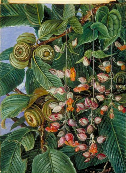 A Darjeeling Oak Festooned with a Climber, 1878 - Marianne North