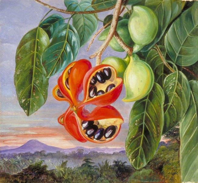 Foliage and Fruit of Sterculia parviflora, 1870 - Marianne North